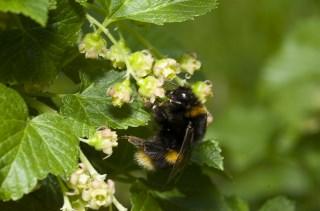 Bumble Bee (320x211)