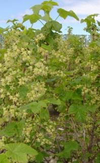 Murchison full flower 2 (197x320)